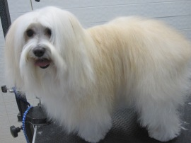 full coated havanese.JPG